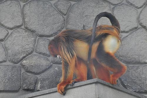 金絲猴(キンシコウ)