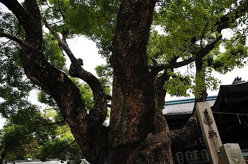 石切神社 ご神木
