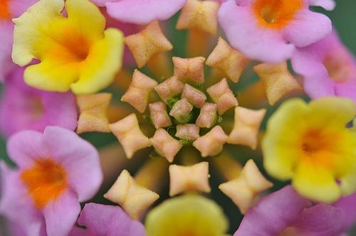 ランタナの花(ドアップ)