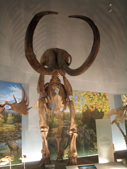 マンモスの化石標本