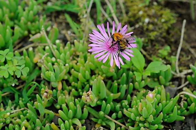 松葉菊と蜂