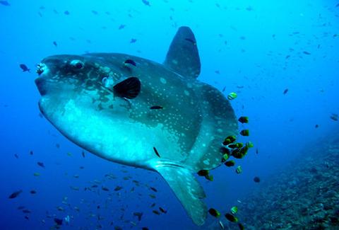 ka-fun-sunfish