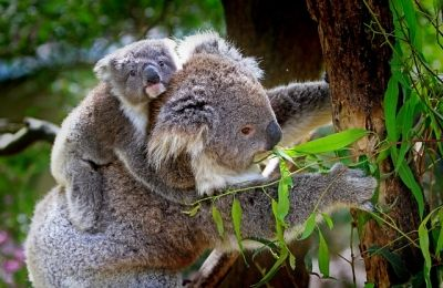 s-koala-61189_640