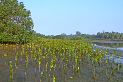 マングローブ植林体験ボランティア
