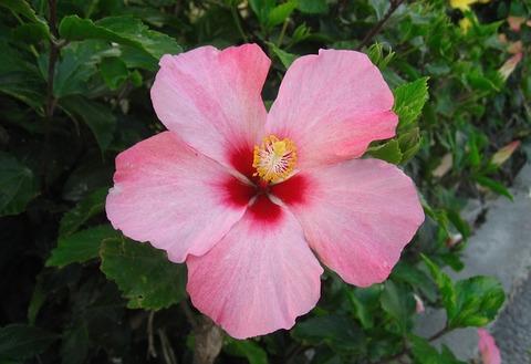 hibiscus-1673168_640
