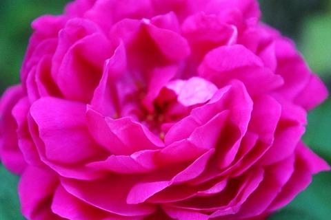 pink-419385_640