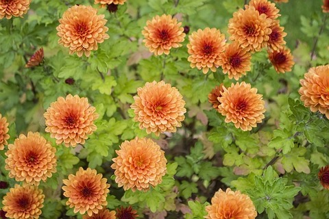 chrysanthemum-2891634_640
