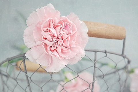 carnation-1364792_640