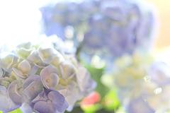 紫陽花(マリンブルー)