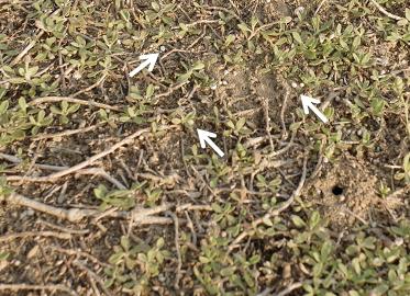 クラピア3年後5_肥料