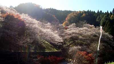 20081122sikisakura1.jpg