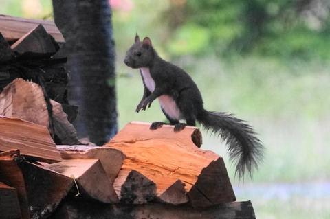 20170608squirrel1