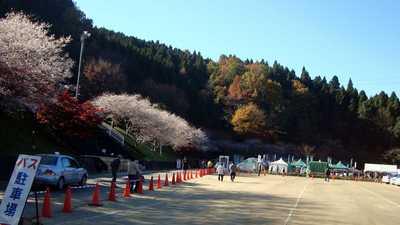 20081122sikisakura.jpg