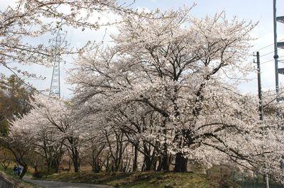20110427sakura1.jpg