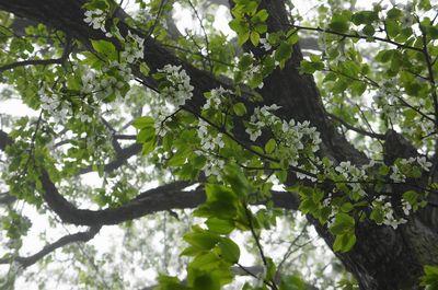 20110523miyamazakura2.jpg