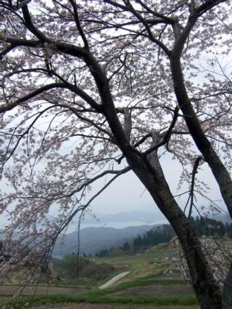 棚田の桜5