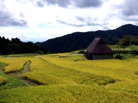 稲刈り前2