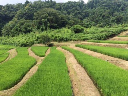 コシヒカリ田んぼ2