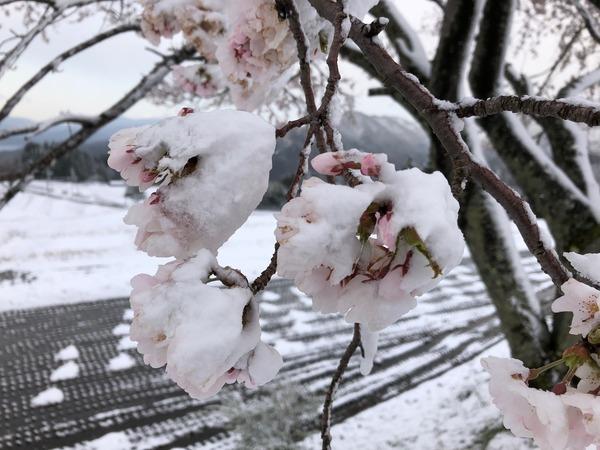 一本桜雪化粧5