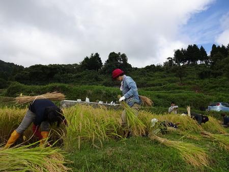 2016稲刈り体験会4