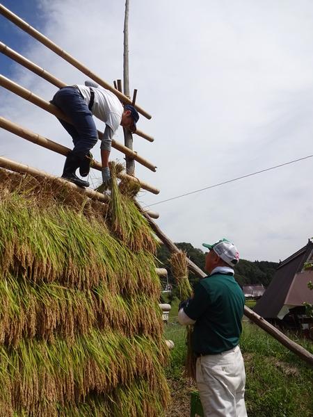 2016稲刈り体験会10