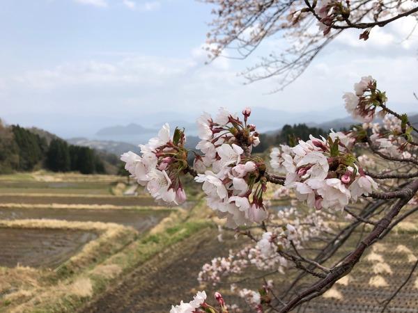一本桜満開4