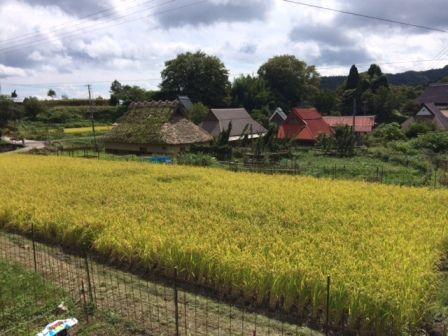 稲刈り前3