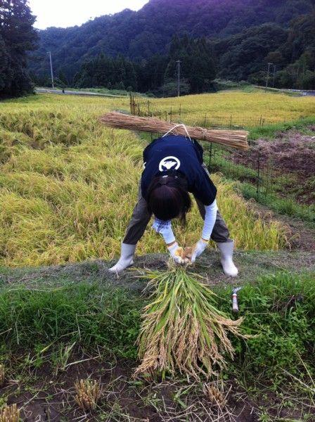 2011稲刈り体験会5