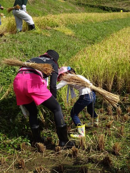 2016稲刈り体験会6