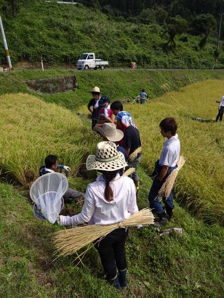 2016稲刈り体験会5