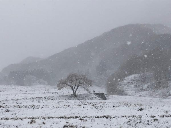 一本桜雪化粧3