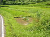 蓮根と田んぼ