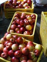 りんご洗い3