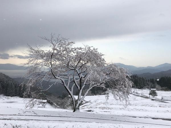 一本桜雪化粧2