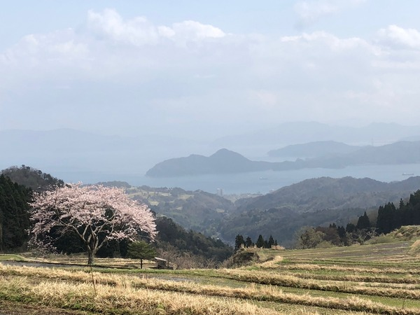 一本桜満開1
