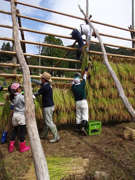 2016稲刈り体験会9
