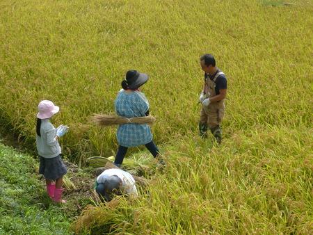2016稲刈り体験会7