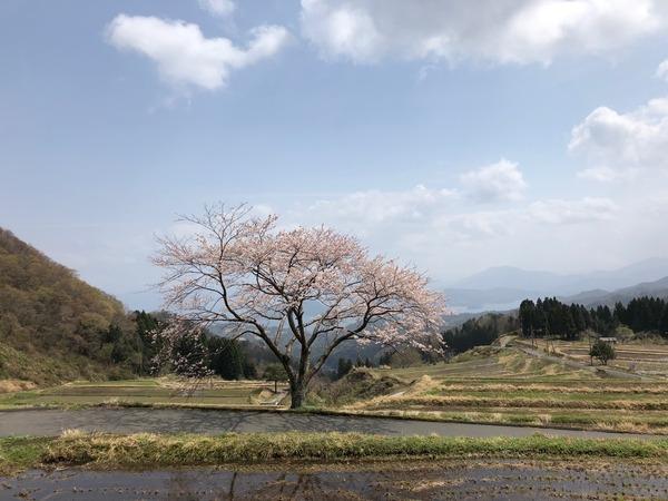 一本桜満開2