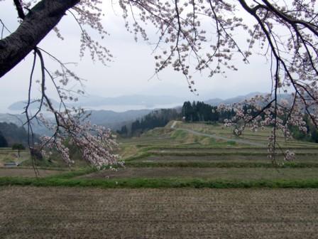 棚田の桜4