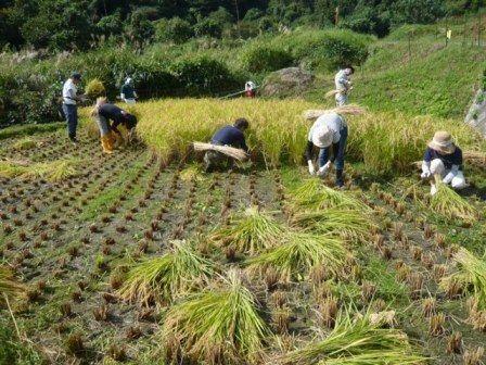 2016稲刈り3