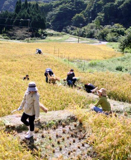 稲刈り体験会3
