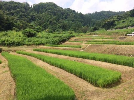 コシヒカリ田んぼ1