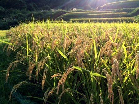 コシヒカリ稲刈り前2