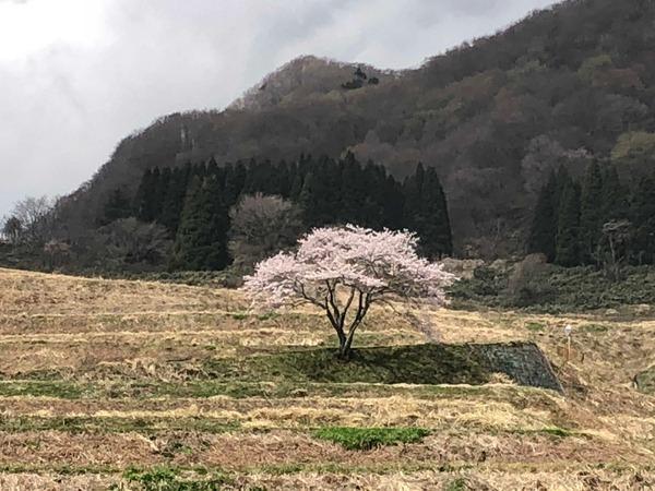 一本桜満開3