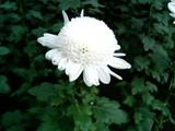 新宿御苑菊