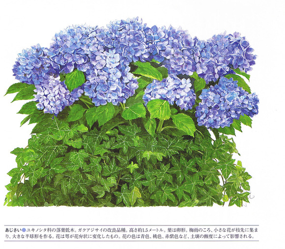 P69紫陽花
