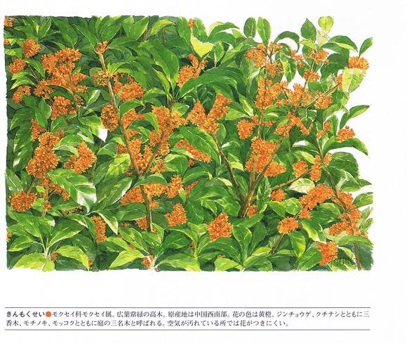 P103金木犀