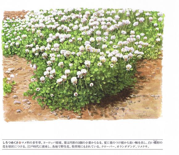 P67白詰草