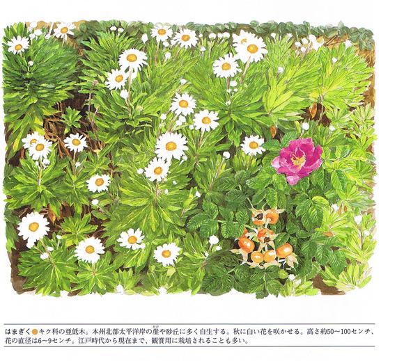 P17浜菊