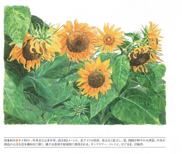 P81向日葵